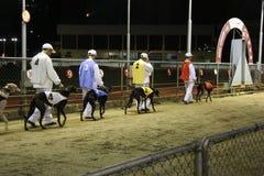Macau Greyhound Dog Races Royalty Free Stock Images