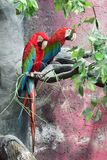 Macawï ¼ ˆPsittacidaeï ¼ ‰ royalty-vrije stock fotografie