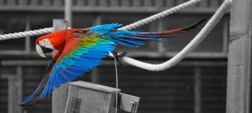 Macaw κατά την πτήση Στοκ Φωτογραφίες
