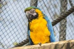 Macaw, μπλε και κίτρινος, Ara Ararauna Στοκ Εικόνες