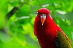 macaw πορτρέτο Στοκ Φωτογραφίες