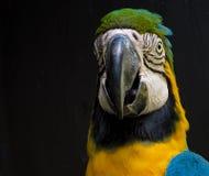 Macaw που απομονώνεται στο μαύρο υπόβαθρο Στοκ εικόνα με δικαίωμα ελεύθερης χρήσης