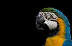Macaw που απομονώνεται στο μαύρο υπόβαθρο Στοκ Εικόνες