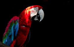 Macaw που απομονώνεται στο μαύρο υπόβαθρο Στοκ εικόνες με δικαίωμα ελεύθερης χρήσης