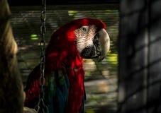 Macaw που στέκεται σε έναν κλάδο δέντρων στο κλουβί Στοκ Εικόνες