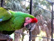 Macaw που στέκεται στο φραγμό μετάλλων Στοκ Εικόνα