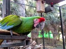 Macaw που στέκεται στο φραγμό μετάλλων Στοκ Φωτογραφίες