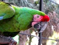 Macaw που στέκεται στο φραγμό μετάλλων Στοκ Φωτογραφία