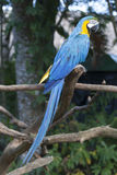 Macaw σε ένα δέντρο Στοκ Εικόνα