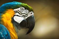 Macaw στην κινηματογράφηση σε πρώτο πλάνο Στοκ φωτογραφία με δικαίωμα ελεύθερης χρήσης