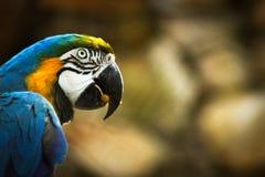 Macaw στην κινηματογράφηση σε πρώτο πλάνο Στοκ εικόνα με δικαίωμα ελεύθερης χρήσης