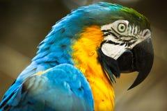 Macaw στην κινηματογράφηση σε πρώτο πλάνο Στοκ Φωτογραφίες