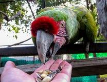 Macaw στη σίτιση κλουβιών από το χέρι Στοκ Εικόνες