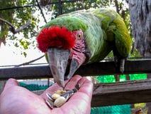 Macaw στη σίτιση κλουβιών από το χέρι Στοκ Φωτογραφία