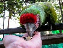 Macaw στη σίτιση κλουβιών από το χέρι Στοκ φωτογραφία με δικαίωμα ελεύθερης χρήσης