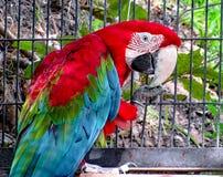 Macaw στο κλουβί Στοκ φωτογραφία με δικαίωμα ελεύθερης χρήσης