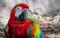 Macaw στο κλουβί που περπατά στο έδαφος Στοκ φωτογραφία με δικαίωμα ελεύθερης χρήσης