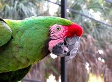 Macaw στο κλουβί Στοκ Εικόνες