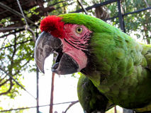 Macaw στο κλουβί Στοκ Φωτογραφίες