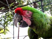 Macaw στο κλουβί Στοκ Εικόνα