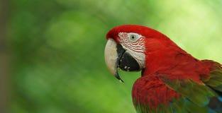 Macaw στο πράσινο υπόβαθρο στην του Εκουαδόρ Αμαζώνα Κοινά ονόματα: Guacamayo ή Papagayo Στοκ φωτογραφία με δικαίωμα ελεύθερης χρήσης