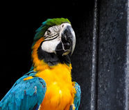 Macaw στο σκοτεινό υπόβαθρο Στοκ εικόνα με δικαίωμα ελεύθερης χρήσης