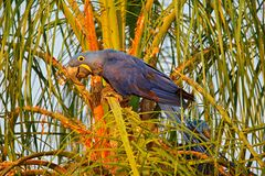 Macaw στο φοίνικα Όμορφο σπάνιο πουλί στο βιότοπο φύσης Άγρια φύση Βραζιλία, macaw στην άγρια φύση Υάκινθος Macaw, Anodorhynchu Στοκ εικόνες με δικαίωμα ελεύθερης χρήσης