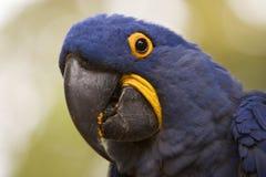 macaw гиацинта крупного плана стоковое изображение rf
