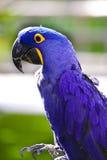 macaw гиацинта Стоковые Фотографии RF