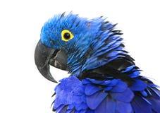 macaw гиацинта Стоковые Фото