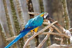 macaw Голуб-и-золота в окружать природы стоковые изображения rf