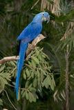 macaw длины гиацинта птицы америки голубой полный южный Стоковые Фото
