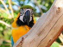 macaw золота птицы голубой стоковое изображение rf