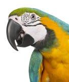 macaw конца сини ararauna ara вверх по желтому цвету стоковое изображение rf