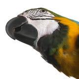 macaw конца сини ararauna ara вверх по желтому цвету стоковые изображения rf