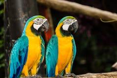 Macaw пар стоковая фотография rf