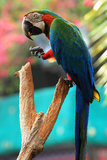 Macaw попыгая [Macaw шарлаха] Стоковая Фотография RF