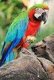 Macaw попыгая [Macaw шарлаха] Стоковое Изображение