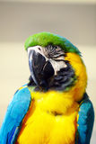 macaw Таиланд bangkok Стоковое Изображение RF