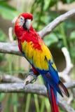 Macaw шарлаха в окружать природы стоковая фотография