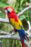 Macaw шарлаха в окружать природы стоковое изображение
