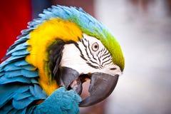 Macaw шарлаха на окуне. Здравствулте! попыгай. стоковое изображение rf