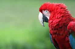 Macaw 01 Royalty Free Stock Photo