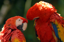 Macaw 01 d'écarlate Image libre de droits