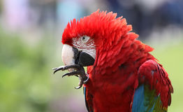 Macaw 02 Royalty Free Stock Photo