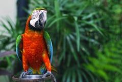 macaw Photo libre de droits