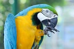 Macaw Fotografía de archivo libre de regalías