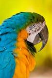 Macaw Lizenzfreies Stockbild