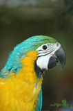 Macaw. Colorful head of a blue and gold macaw parrot (Ara Ararauna Stock Photo