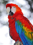 Macaw Royalty Free Stock Image